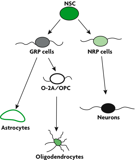 From Stem Cells to Neurons