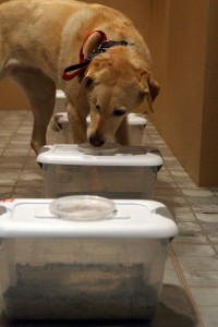 Tessy, a three-year-old yellow Labrador retriever, sniffs at boxes containing breath samples from women with ovarian cancer and from healthy controls and determines which is which